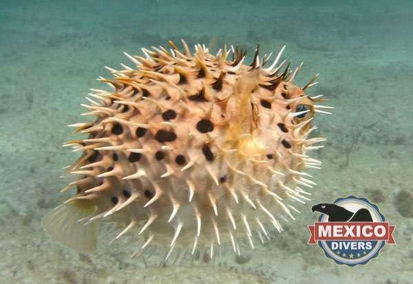 pez globo isla mujeres