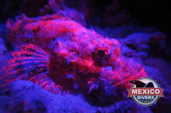 scorpion fish night diving bioluminescence glow dive